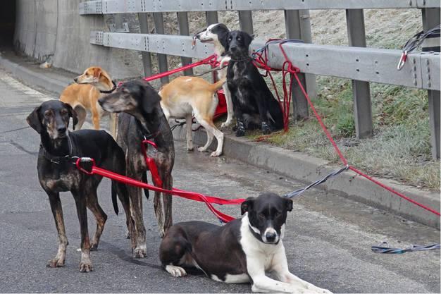 Die 15 Hunde, die im Anhänger mitgeführt wurden, konnten geborgen werden.