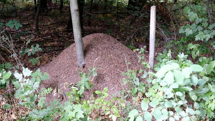 Für Ameisenkolonien ist es besonders wichtig, eine grosse Anzahl an Arbeiterinnen zu haben.