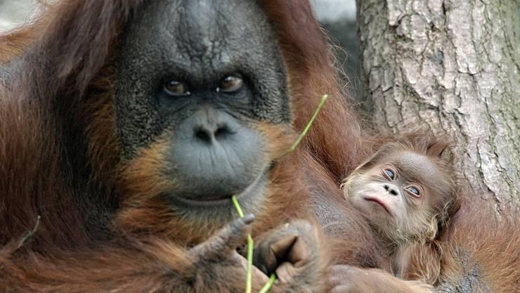 Auf Sumatra wurde ein durch 74 Gewehrkugeln schwer verwundetes Orang-Utan-Weibchen gefunden, ihr Baby starb. (Archivbild)