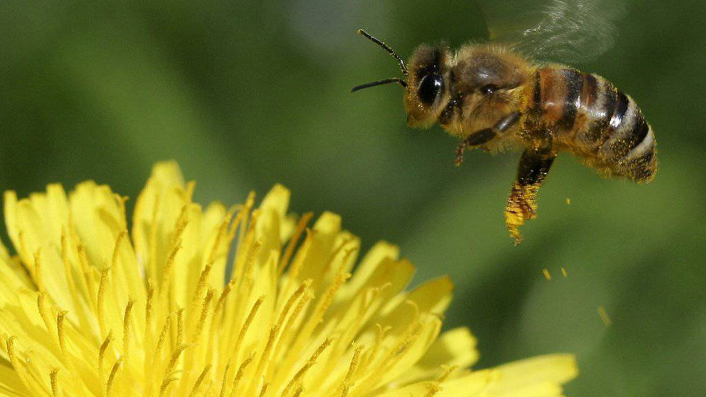 Bienen leiden unter Insektengift und Milben