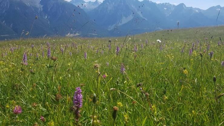 """Artenreiche Wiese """"Marièrs"""" bei Scuol GR auf 2100 Metern."""