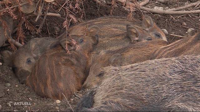 Wildschweine zerstören Maisfeld