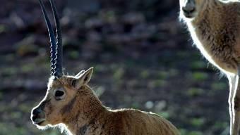 Drei bis fünf Antilopen für einen Schal