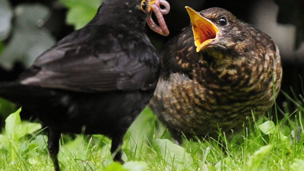 Mehr Vögel in Siedlungsräumen als in ausgeräumter Agrarlandschaft