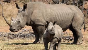 Immer mehr Nashörner fallen in Südafrika den Wilderern zum Opfer (Archiv)