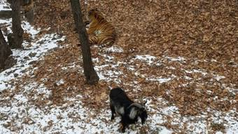 So verbringen Tiger und Ziege ihre Tage im Wildpark miteinander.