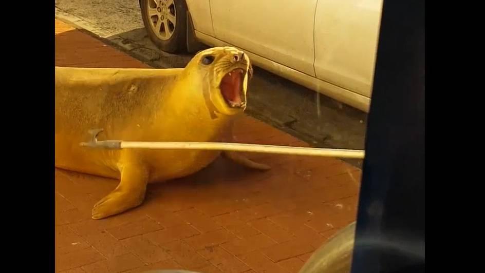 Recht gross und ziemlich gfürchig: die Robbe, die sich in Port Macdonnel vor das Periwinkles Cafe verirrt hat.