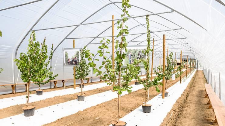 Die Aprikosen wurden unter einem Folientunnel gepflanzt.