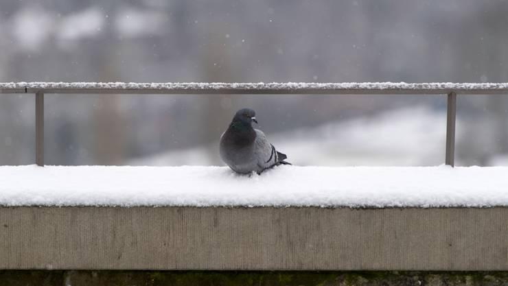 In La-Chaux-de-Fonds im Neuenburger Jura sind Dutzende Tauben verendet. Analysen sollen zeigen, was die Ursache für das rätselhafte Vogelsterben ist. (Symbolbild)
