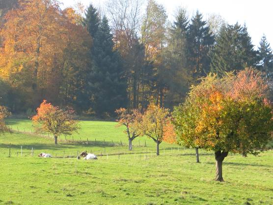 Auch die Kühe vom Landwirt Müller geniessen die herbstliche Landschaft.
