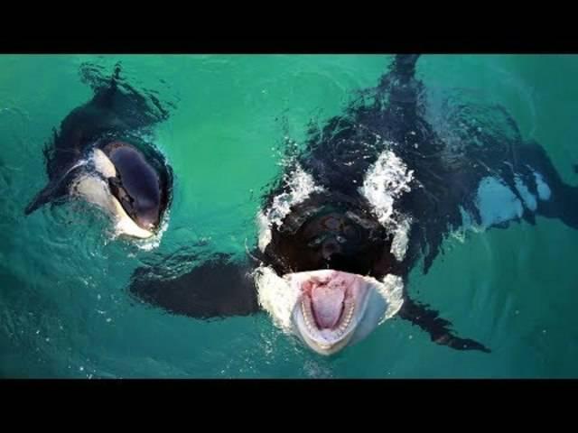 So tönt es, wenn ein Killerwal wie ein Mensch spricht
