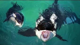 Orca-Weibchen Wikie wird von Forschern als erster sprechender Killerwal gefeiert.