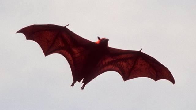 Eine Fledermaus (Symbolbild)
