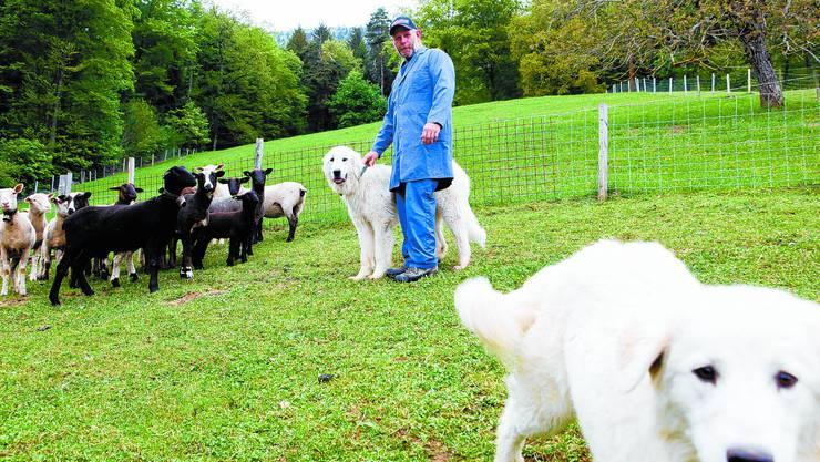 Scheu: Sogar Besitzer Christian Mühlethaler braucht Geduld, wenn er seine Herdenschutzhunde anfassen will.