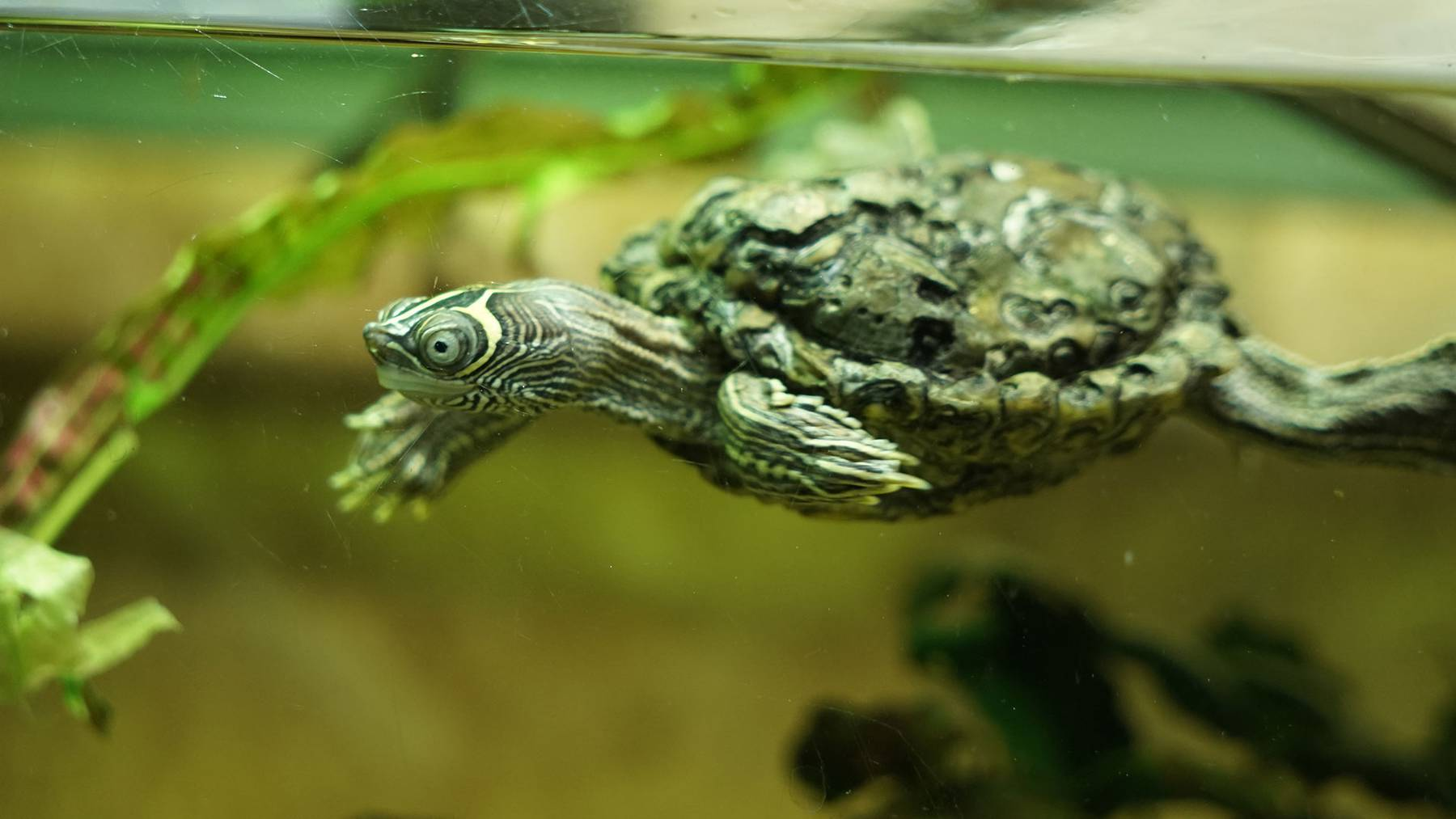 Falsche Landkartenhöckerschildkröten