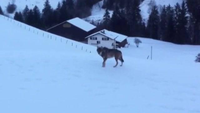 Weiterer Wolf