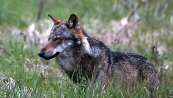 Im Kanton Wallis sind anhand von Speichelproben zwei neue Wölfe identifiziert worden. (Archivbild)