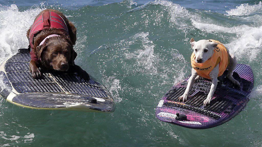 Ein Wuff aus den Wellen: Hunde surfen in Kalifornien um die Wette