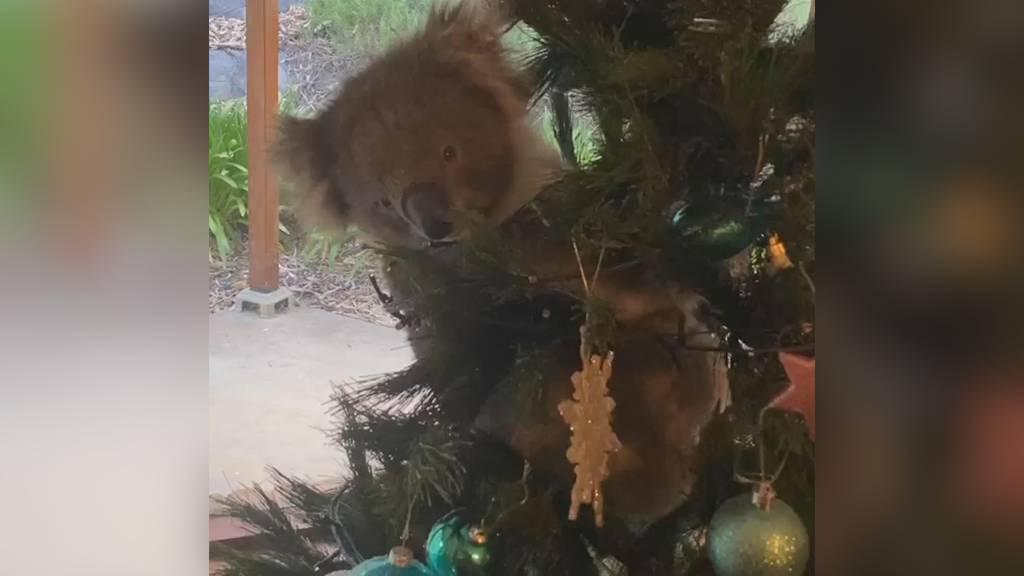 Besonderer Christbaumschmuck: Koala versteckt sich in Weihnachtsbaum