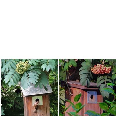 Ein Vogelbeerbaum (Eberesche) im Frühling und im Herbst