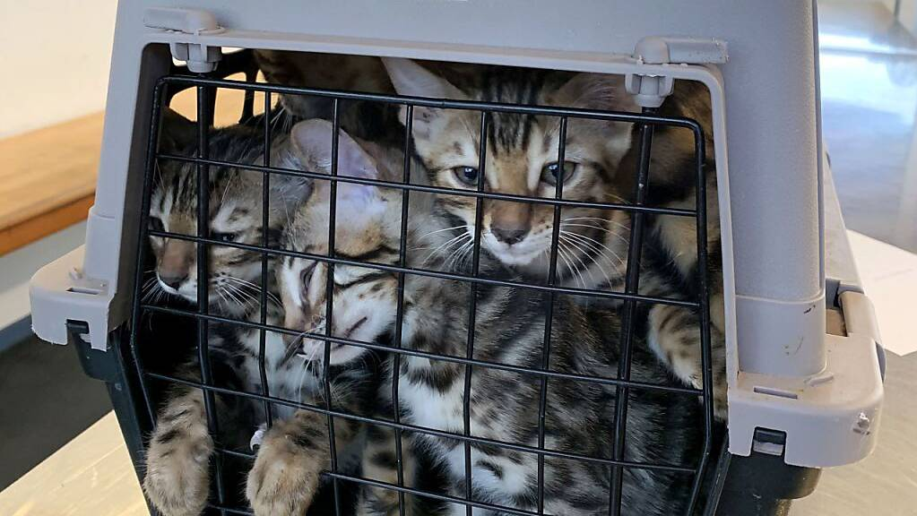 Von Portugal in die Schweiz: Die Katzen verbrachten mindestens 18 Stunden zusammengepfercht in den Käfigen.
