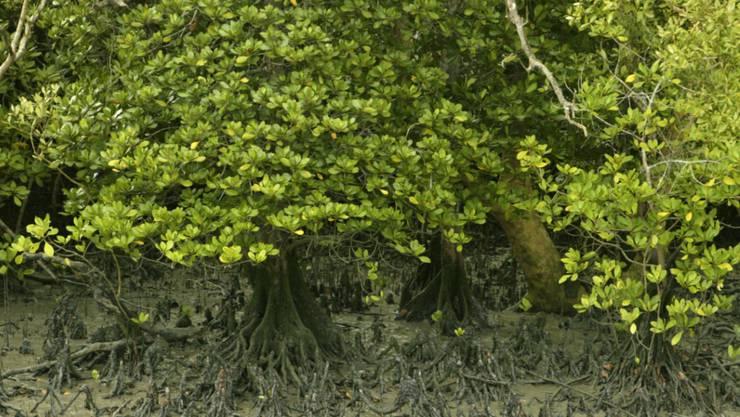 Der Bestand an Mangrovenwälder geht weiter zurück (Archiv)