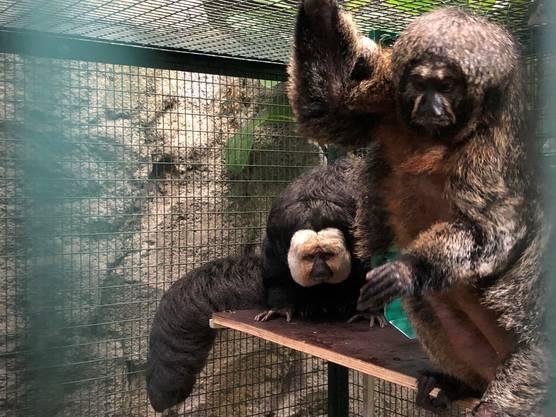 Neuankömmlinge: Weisskopfsakis aus dem Amazonas