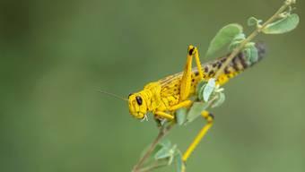 Ein einzelnes Tier ist harmlos, im Schwarm kann die Wüstenheuschrecke dem Menschen gefährlich werden, indem sie seine Ernte zerstört.