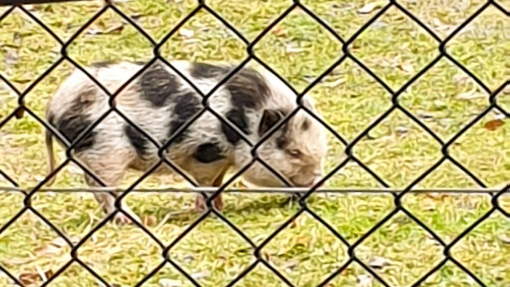 Das ausgebüxte Hängebauchschwein ist wieder daheim