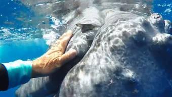 Der Meeresbiologin Nan Hauser sind in den Gewässern vor den Cookinseln im Südpazifik seltene Aufnahmen gelungen.