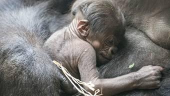 Gorilla Nachwuchs Zoo Basel