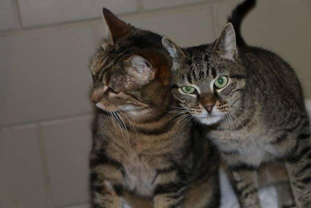 Die beiden Katzen werden vom Tierschutz beider Basel nur im Doppelpack vermittelt.