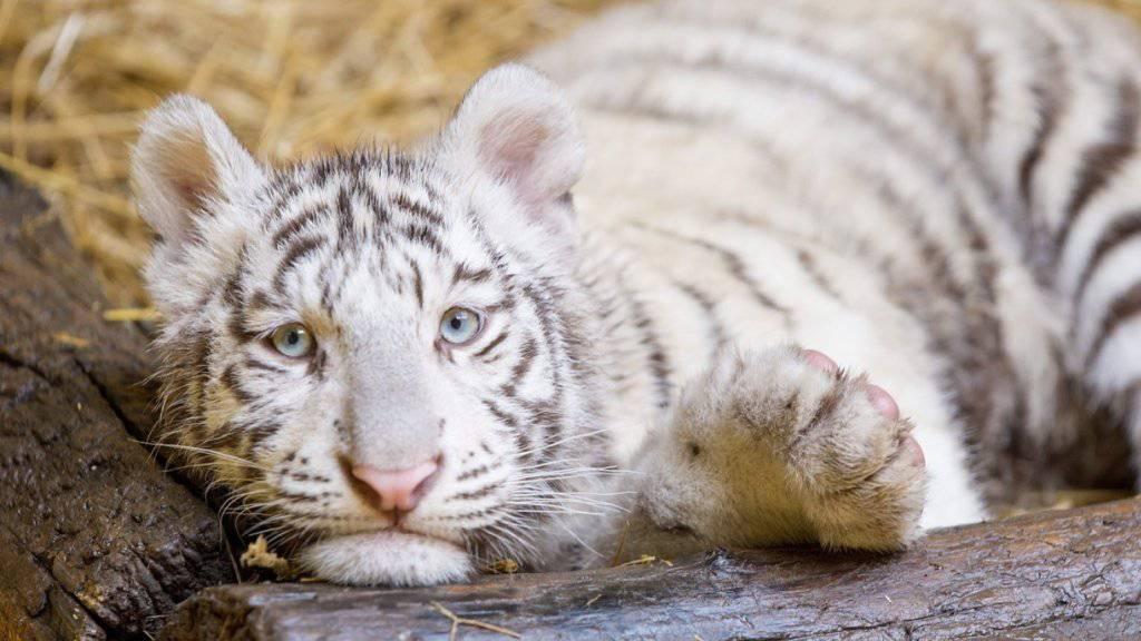 Weiss statt goldgelb: Die ungewöhnliche Farbe entsteht bei Tigern wegen einer seltenen Genmutation, die vor allem bei in Gefangenschaft geborenen Tieren der Art vorkommt. (Symbolbild)