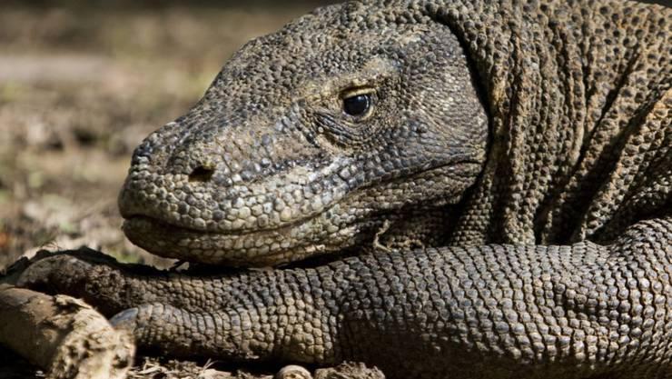 Komodowarana sind die grössten Reptilien der Welt. Seine europäischen Verwandten sind vor langem ausgestorben - allerdings später als bisher gedacht. (Symbolbild)