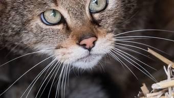 Büsis sind nicht überall beliebt. In Australien haben die im 18. Jahrhundert von Siedlern eingeschleppten Katzen schon zahlreiche einheimische Tierarten ausgerottet. Deshalb hat die Regierung den Tod von zwei Millionen Katzen angeordnet. Selbst Tierschützer sehen die Notwendigkeit ein. (Archivbild)