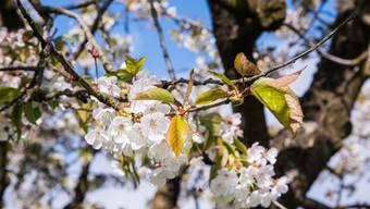 Schön, aber fatal: Der verfrühte Blühbeginn von Kirsch- und anderen Obstbäumen wurde in den heftigen Frostnächten zum Verhängnis.