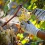 Astscheren im Einsatz: In Puidoux hoch über dem Genfersee ernten die Waadtländer Chasselas-Trauben.