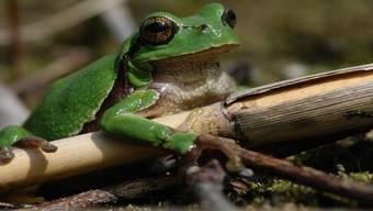 Der Laubfrosch ist gefährdet. Im Stetter «Bösimoos» soll er mehr Lebensraum erhalten. Christoph Flory