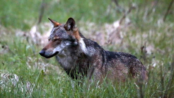 Ein Wolf aufgenommen im Wallis.