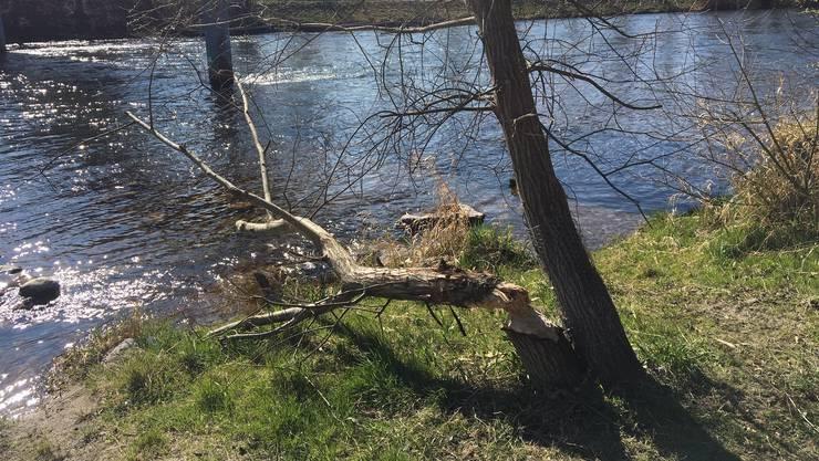 <p>Hier an der Limmat hat sich der Biber an den Bäumen gütlich getan.</p>