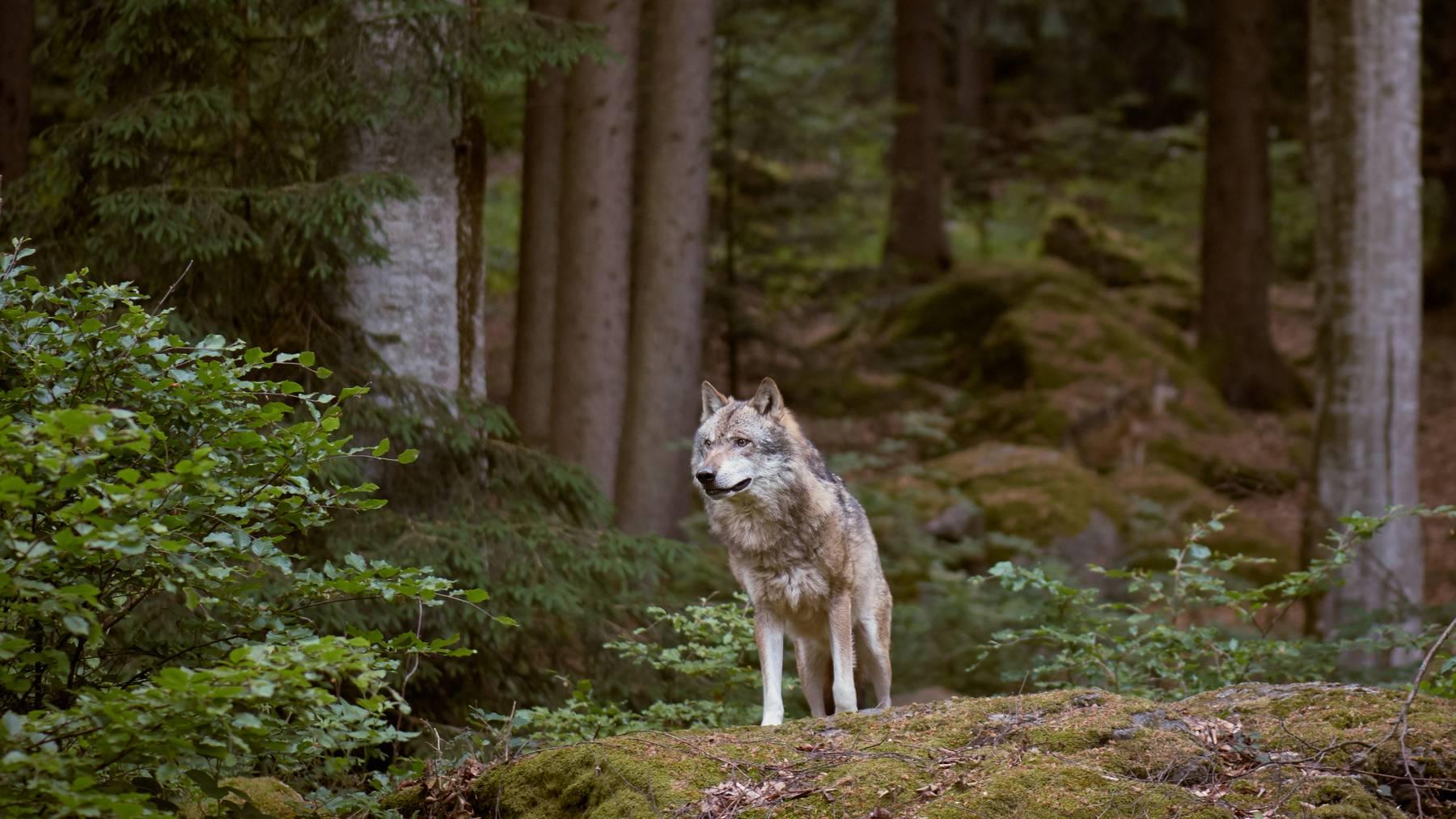 Die Jagdverwaltung des Kantons Appenzell Ausserrhoden geht von einem Wolfsriss aus. (Symbolbild)