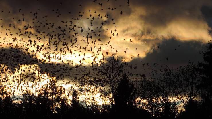 Jeden Herbst fliegen Millionen von Vögeln in ihr Verderben