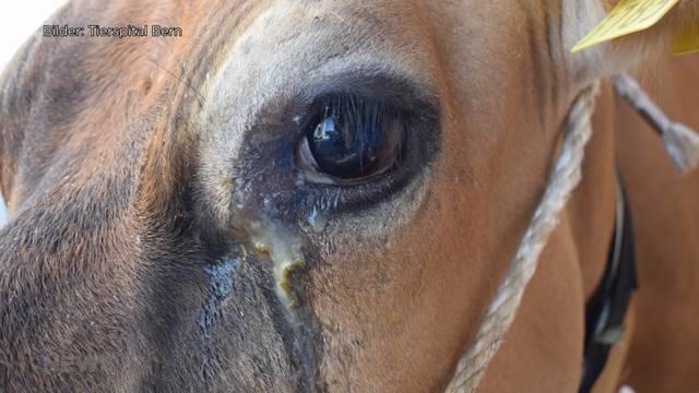 Tote Bisons wegen Schafen: Wie gefährlich ich das bösartige Katarrhalfieber?