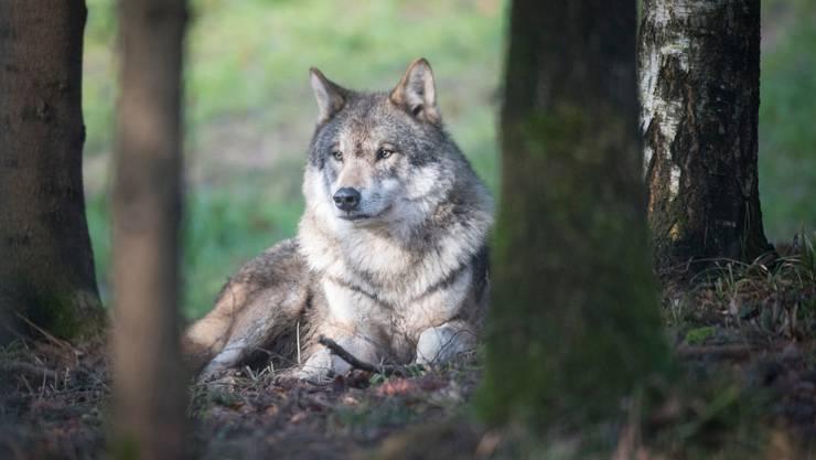 Im St.Galler Rheintal und im Appenzellerland sind mehrere Wölfe unterwegs.