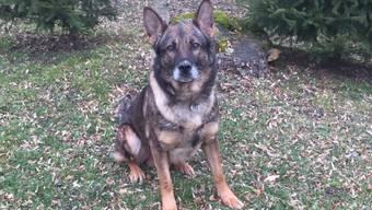 Diensthund «Claus vom Ankenrütt» unterstützte die Polizei tatkräftig bei dem Einsatz.
