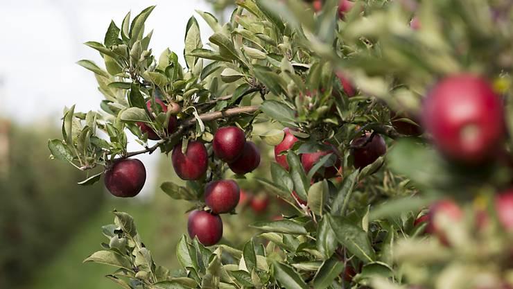 Der Thurgau gilt als Apfelkanton.