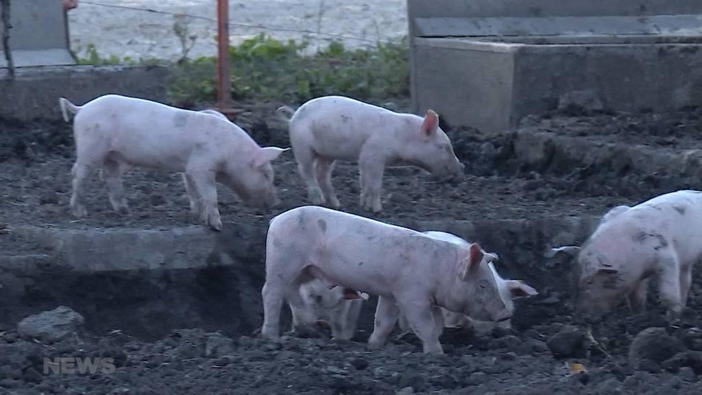 Tödliche Schweinekrankheit: Berner Forschern gelingt Durchbruch