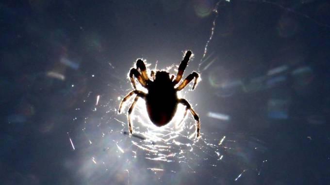 """Weltweit breitet sich die """"falsche Witwe"""" aus: Ein Biss der ursprünglich von Madeira und den Kanaren stammenden Spinnenart kann schmerzhaft sein. (Symbolbild)"""