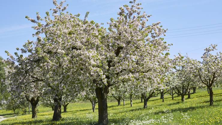 Viele Kirschbäume haben dieses Jahr einen Rotstich, wie dieser Prachtsbaum in Zeglingen.
