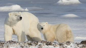 Dutzende von Eisbären sind den Behörden zufolge auf der sibirischen Arktis-Insel Nowaja Semlja in Wohnhäuser und öffentliche Gebäude eingedrungen. (Symbolbild)